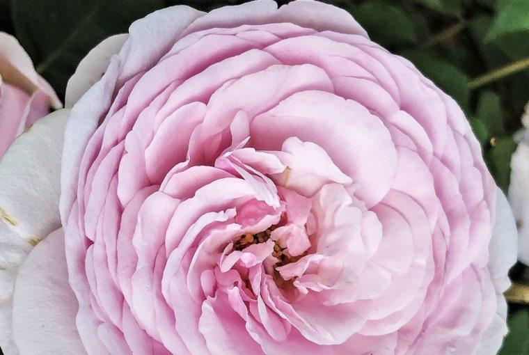 rosa, fiore, giardino,orticola