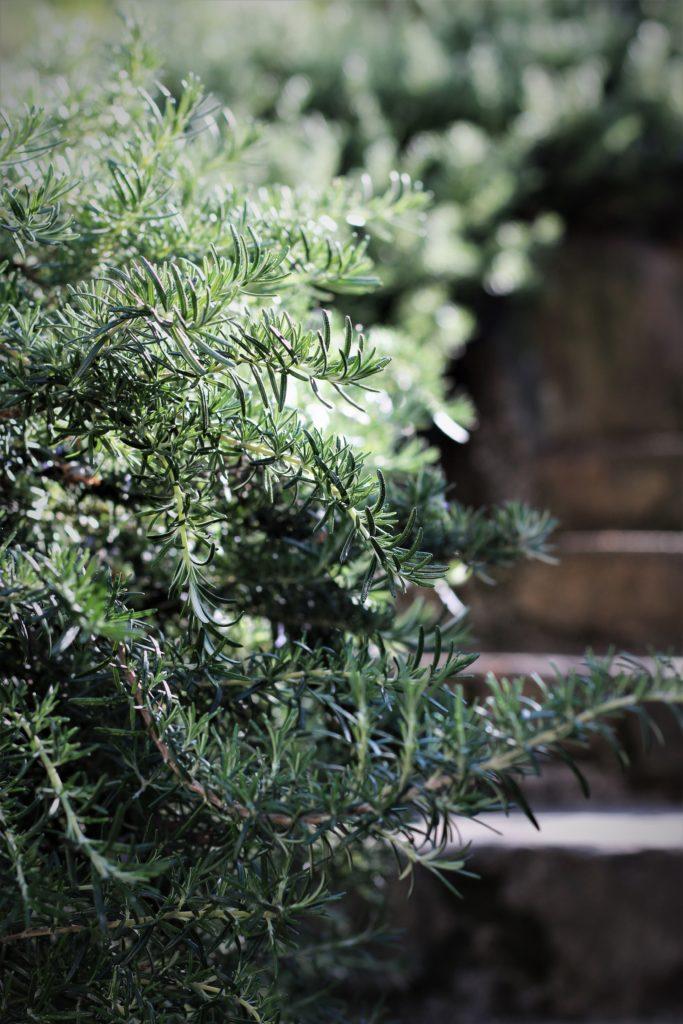rosmarino, pianta, giardino, accade in tavola