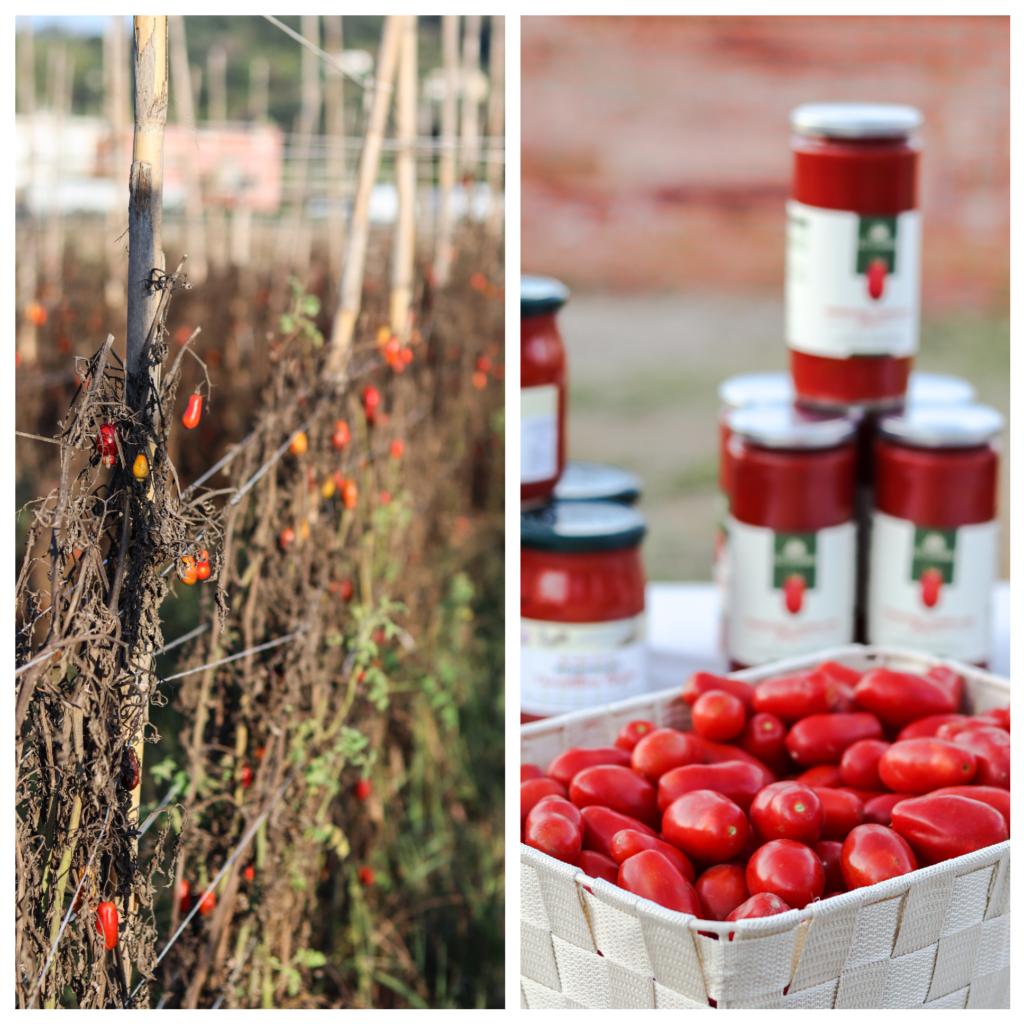 pomodoro cannellino flegreo, piantagione, napoli